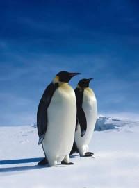 Emperor Penguin thumb